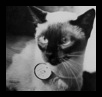 История породы тайских кошек