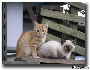 тайский котенок в России
