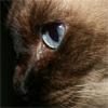 Трудно быть меконгом, или почему меконгский бобтейл - это не тайская кошка с коротким хвостом