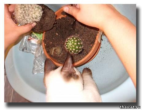 тайская кошка сажает кактус