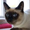 Кошки с берегов Сиамского залива, или откуда у сиамов крючки на хвосте?
