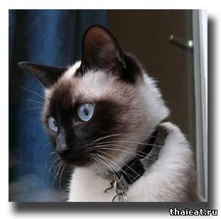тайский кот с ошейником