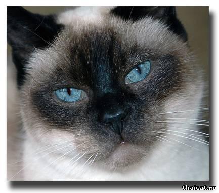 довольный тайский кот