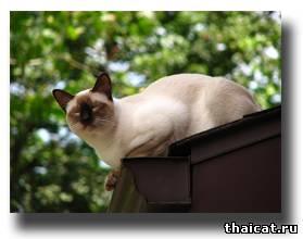 тайский кот на крыше