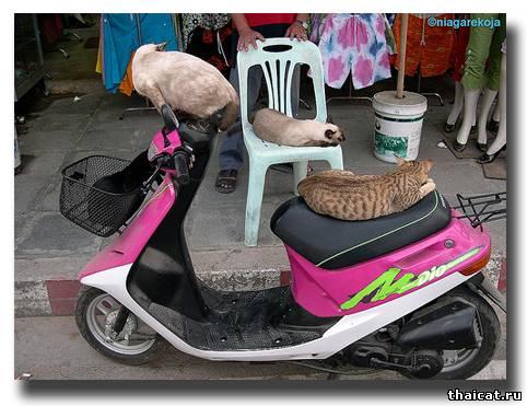 Сиамские кошки и их розовый байк. Тайланд