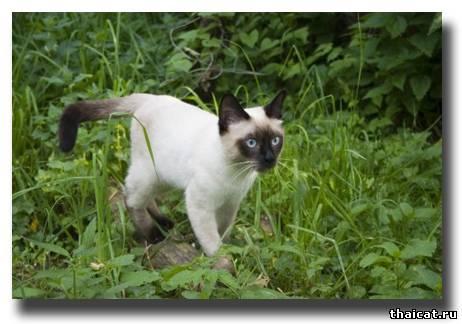 тайский кот фото