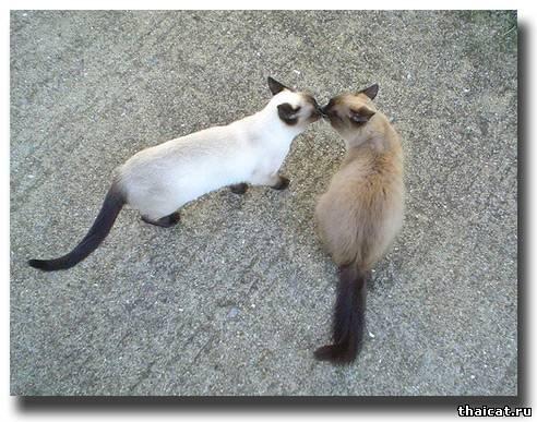 Кошачий поцелуй