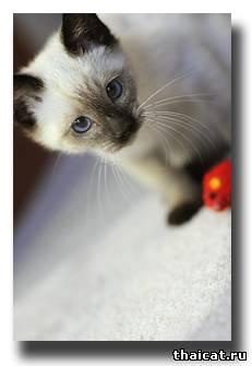 тайский котенок фото