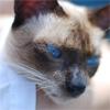 Истории про тайских кошек