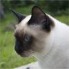 Тайская кошка - чудо с глазами ангела и сердцем льва
