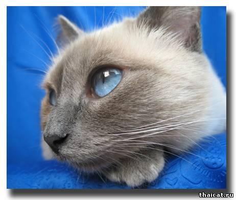 Гимн Тайской Кошке