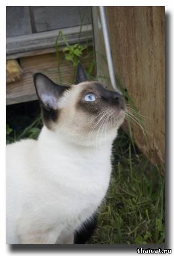 тайский кот на охоте