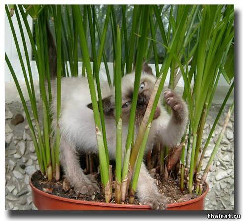 В зарослях бамбука-циперуса