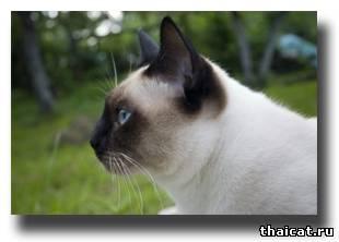 тайский кот, окрас сил-пойнт