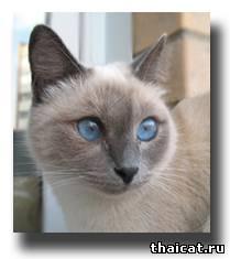 тайская кошка, окрас блю-пойнт