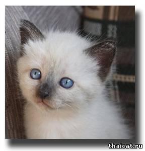 тайский котенок из объявления