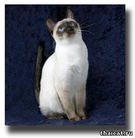 тайская кошка, окрас сил-пойнт