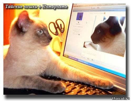 Тайские кошки в Интернете