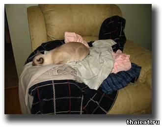 тайская кошка и феншуй