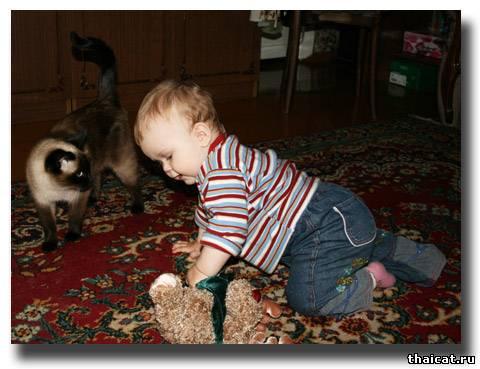 тайская кошка и ребенок