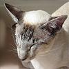 Сиамские и ориентальные кошки в зеркале истории