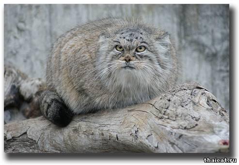 манул, степной кот
