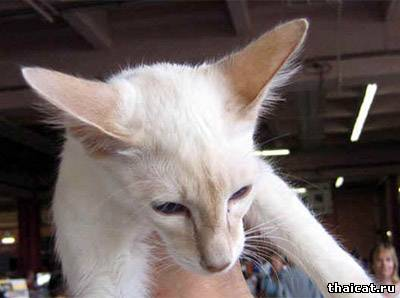 балинезийская кошка, окрас фавн-пойнт