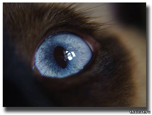 Голубой глазик аристократа фото t n v