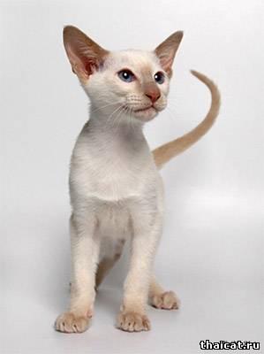 сиамский котенок, окрас фавн-пойнт