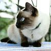 Самые собаковидные кошки