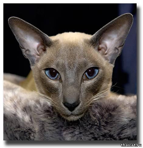 Королевская сиамская кошка сиамские
