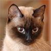 Лучшие тайские кошки 2008 года (WCF)