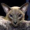 Королевская сиамская кошка