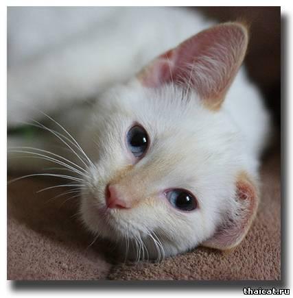 kak-vyvodit-glisty-u-koshek.  Глисты у кошек симптомы и лечение гельминтов.  Как дать кошке.