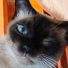 Распорядок дня настоящего Любителя Тайских Кошек