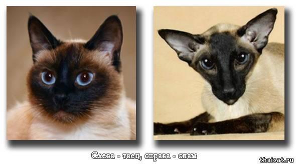 Различия между сиамскими и тайскими кошками